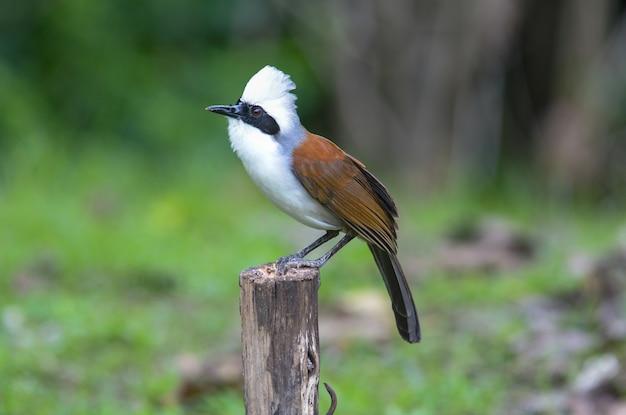 Cresta blanca de risa; garrulax leucolophus, pájaro encantador.