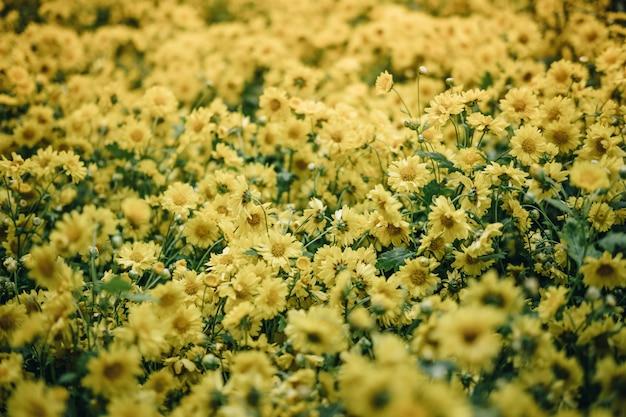 Crisantemo amarillo flor floreciente en el jardín. campo de flora