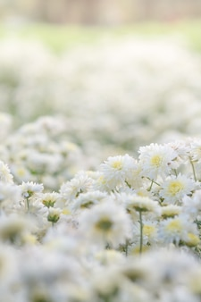 Crisantemo blanco flores, crisantemo en el jardín. flor borrosa para el fondo, plantas coloridas