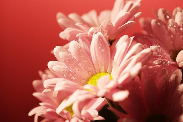 Crisantemo cerrado sobre fondo rosa