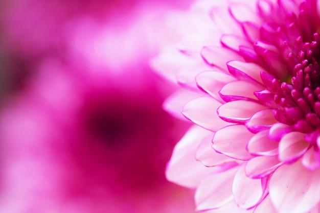 Crisantemo de coloridas flores