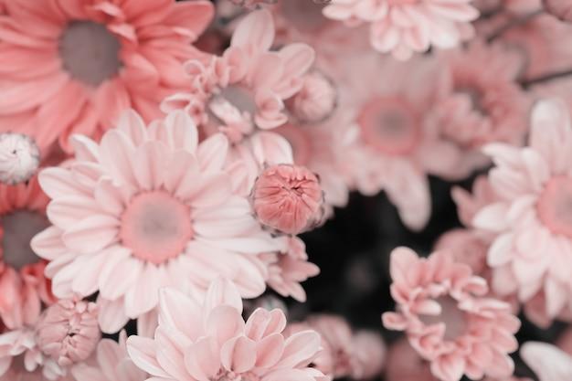 Crisantemo colorido de las flores hecho con el gradiente para el fondo
