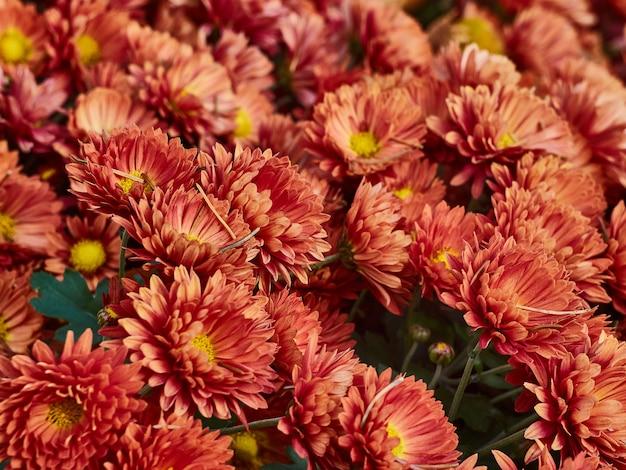 Crisantemo flores florece en el jardín.