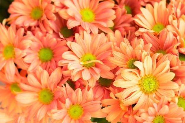 El crisantemo hermoso florece el fondo