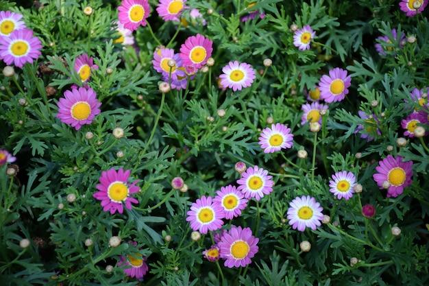 Crisantemo morifolium, floristas margarita, flores rosadas, fondo natural.