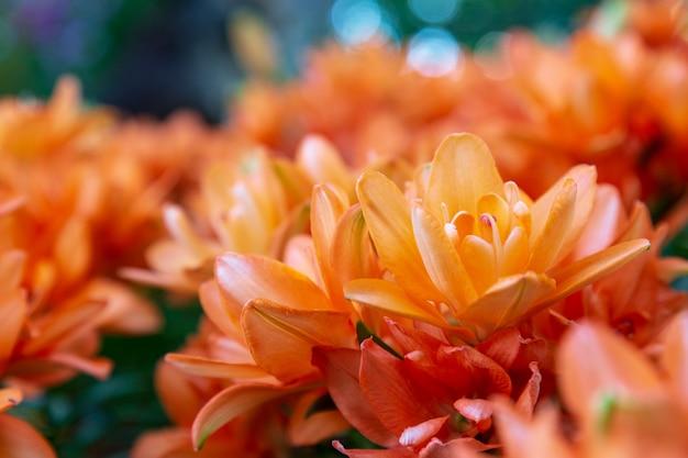 Crisantemo naranja en el jardín