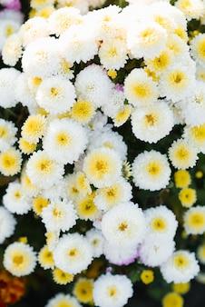 Crisantemos blancos de otoño florecen en el jardín