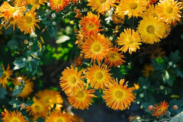 Crisantemos de color naranja en flor en el jardín