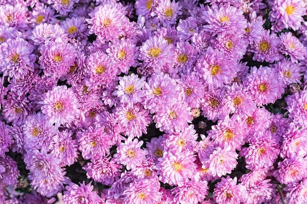 Crisantemos rosados. delicadas flores de otoño. de cerca.