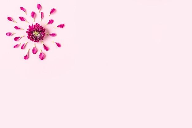 Crisantemos rosados sobre un fondo rosa pastel con pétalos de rosa alrededor de un crisantemo