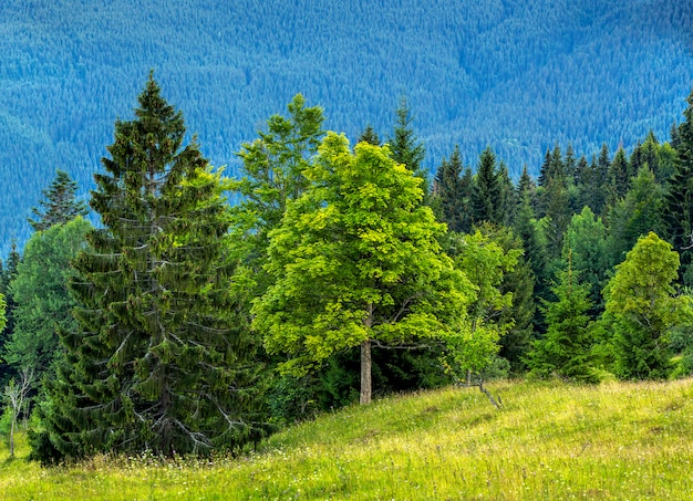 Cuadro del bosque verde hermoso y de montañas azules. montañas de los cárpatos en la noche