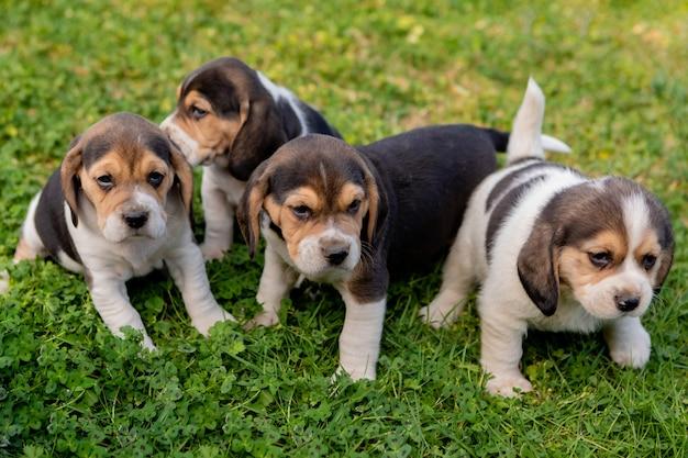 Cuatro hermosos cachorros en la hierba