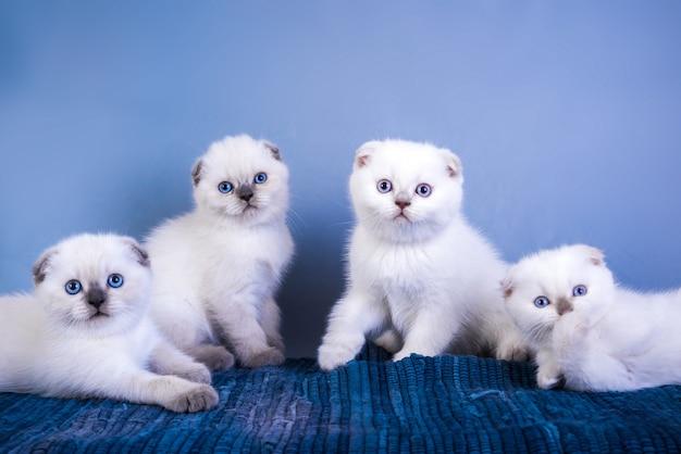 Cuatro lindos gatitos de punto color plateado de scottish fold shorthair con ojos azules.