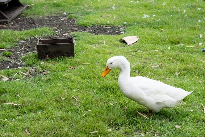 Cuatro pato blanco en la granja