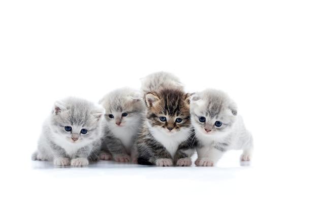 Cuatro pequeños gatitos grises lindos y un gatito marrón oscuro están posando en el estudio fotográfico blanco