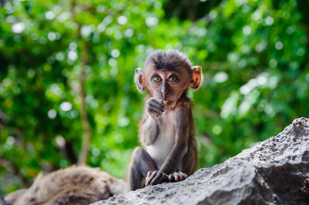 Cub macaca fascicularis sentado en una roca y comer.