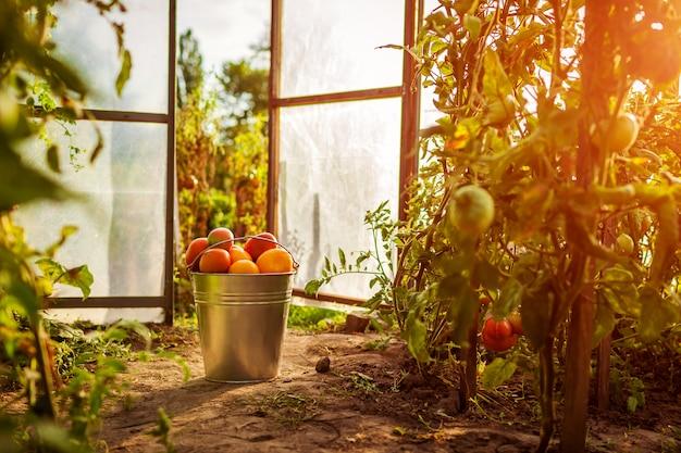 Cubo de tomates rojos en el invernadero en granja.