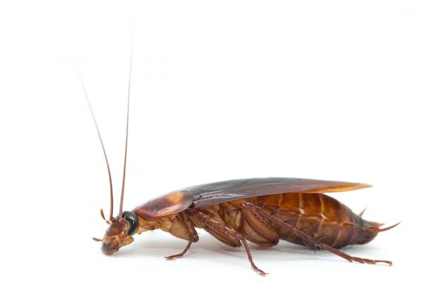 Cucaracha aislada