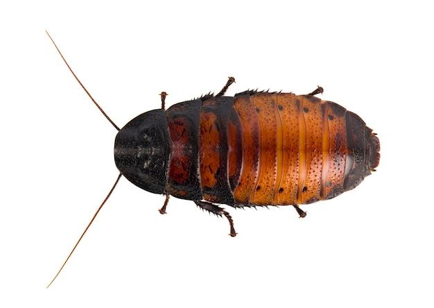 Cucaracha aislado en blanco