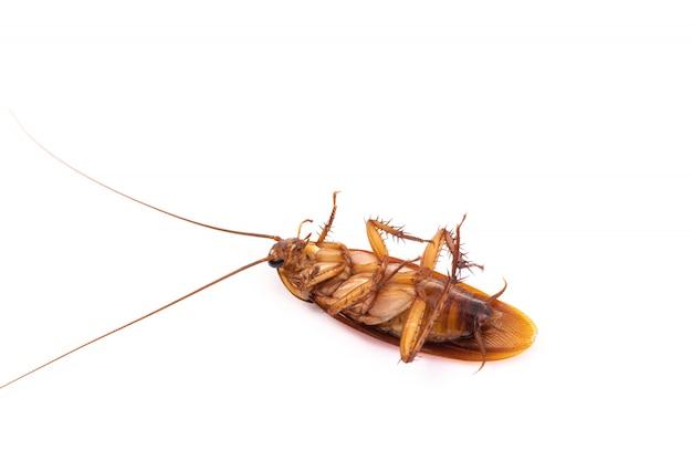 Cucaracha aislado sobre fondo blanco.