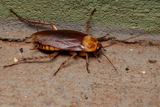 Cucaracha americana adulta de la especie periplaneta americana