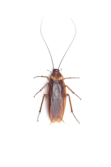 Cucaracha blanca aislada