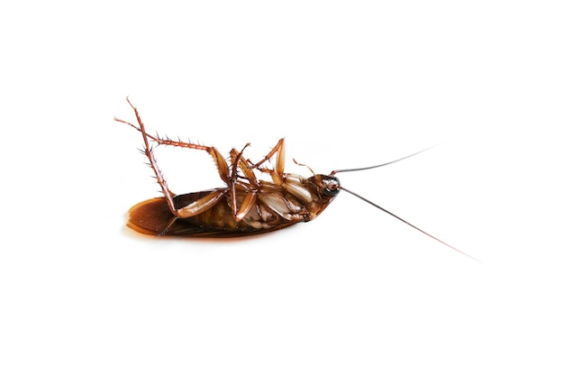 Cucaracha en blanco aislado