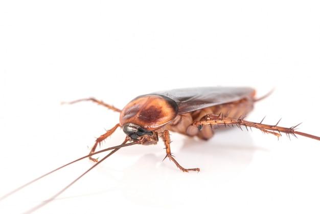 Cucaracha en el fondo blanco