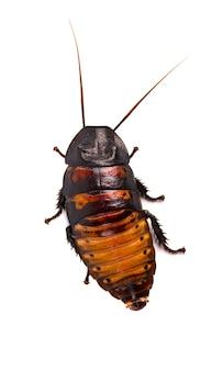 Cucaracha madagascar siseo aislado en blanco