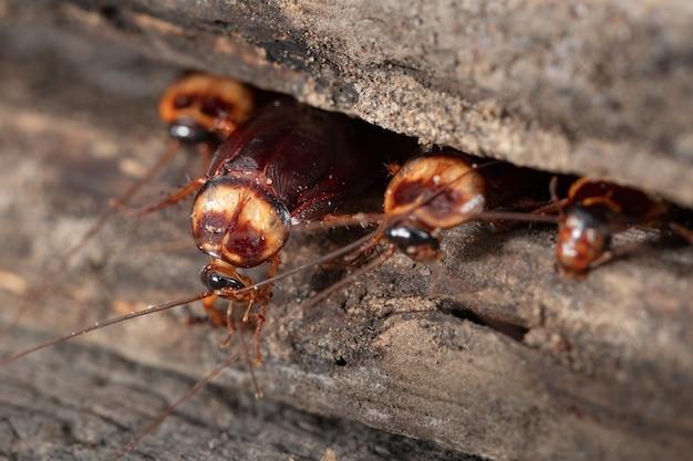 Cucaracha en madera