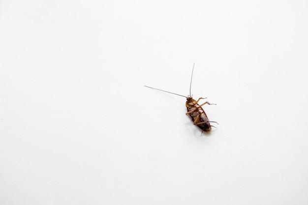 Cucaracha en una mesa de cocina blanca.