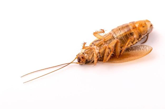 Una cucaracha muerta está acostada de espaldas sobre un fondo blanco de cerca. fotografía macro.