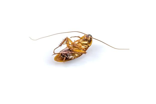 Cucaracha muerta sobre un fondo blanco