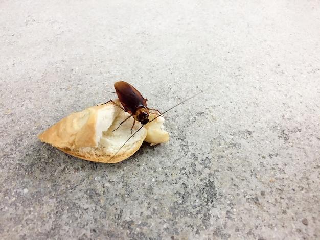 Cucaracha que come el pan del trigo en el fondo áspero del piso del cemento, portadores de la enfermedad.