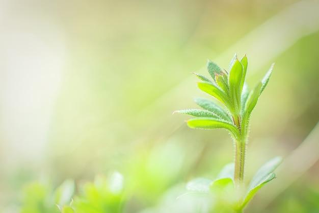 Cuchillas de galio aparine, clivers, hierba de ganso, algas, palitos, robin-run-the-hedge, willy pegajoso, sauce pegajoso, stickyjack, stickeljack y agarre el primer plano de la hierba en la primavera