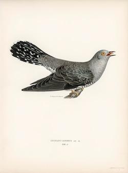 Cuco-macho común (cuculus canorus) ilustrado por los hermanos von wright.