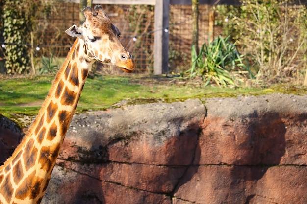 Cuello largo de una jirafa rodeada de césped y plantas en el zoológico