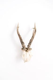 Cuernos de cabra sobre fondo blanco. endecha plana