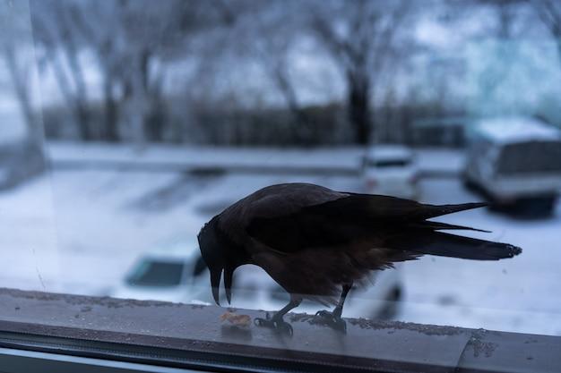 Cuervo comiendo fuera de la ventana en invierno