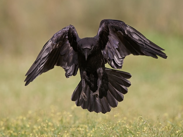Cuervo común (corvus corax)