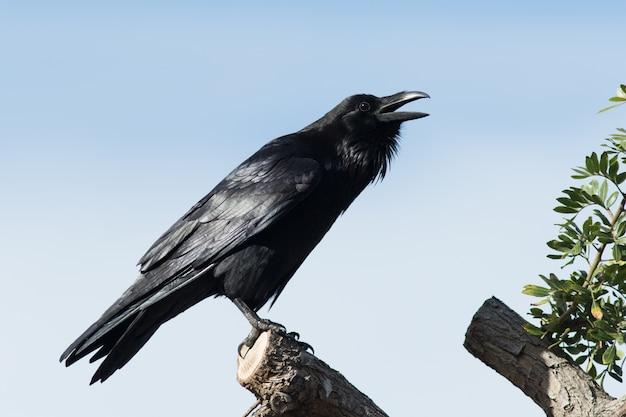 Cuervo común - (corvus corax)