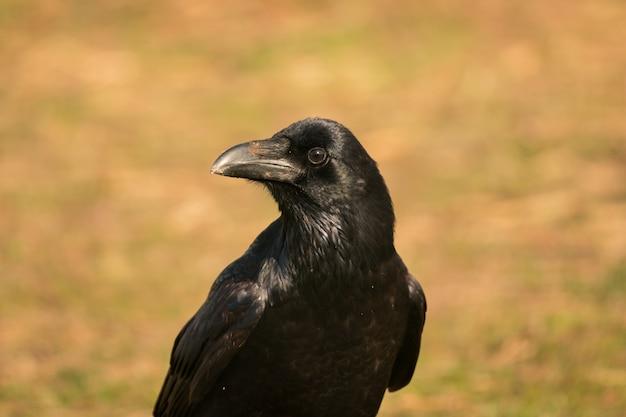 Cuervo en la naturaleza