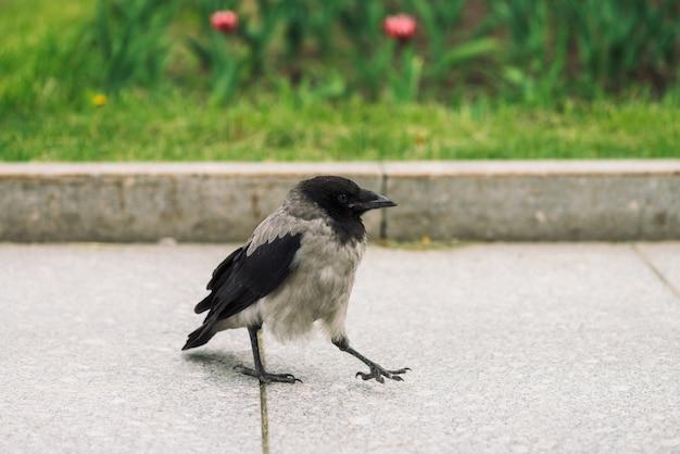 El cuervo negro camina en la acera gris cerca de la frontera en el fondo de la hierba verde con espacio de copia.