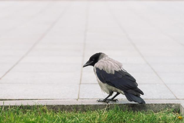 Cuervo negro camina en la frontera cerca de la acera gris sobre fondo de hierba verde con espacio de copia. cuervo en el pavimento. pájaro salvaje en el asfalto. animal depredador de la fauna de la ciudad. plumaje de pájaro está de cerca.