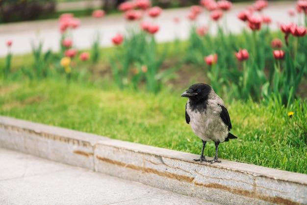 Cuervo negro camina en la frontera cerca de la acera gris