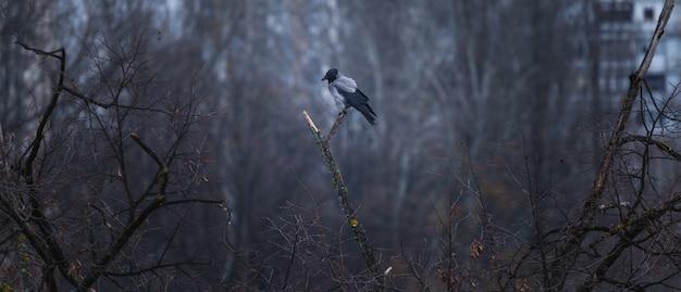 Cuervo negro y gris sentado en la rama de un árbol con un bosque y edificios en el fondo borroso