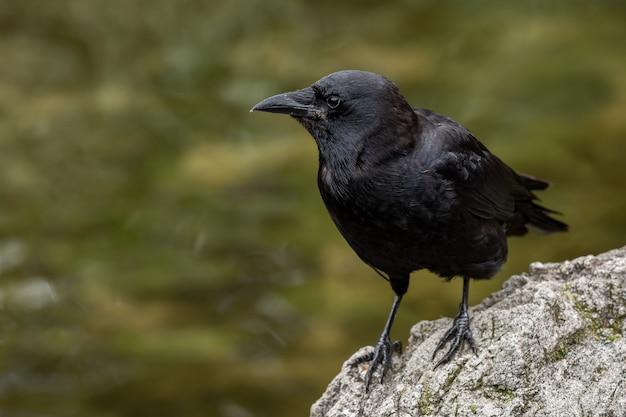 Cuervo sobre una roca