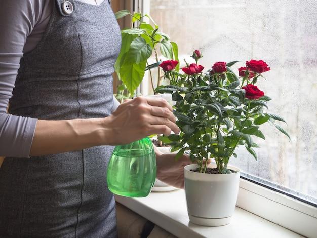 Cuidado de rosas en invierno. limpieza de las hojas de las plantas de interior.
