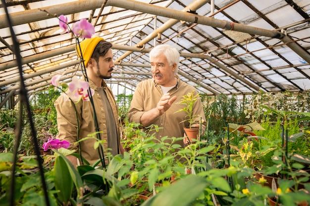 Cultivador de vivero senior sosteniendo planta en maceta y explicando joven cómo cultivar flores en invernadero