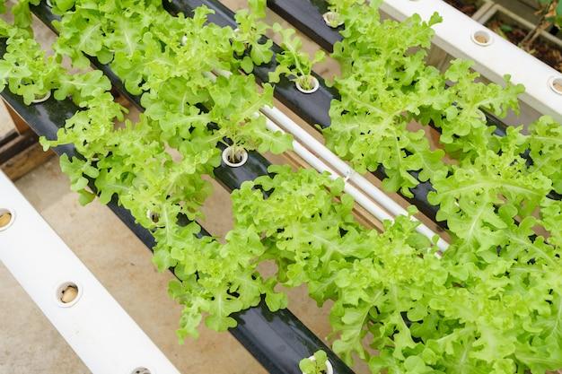 Cultivar hortalizas sin utilizar tierra o llamar a otro tipo cultivo hidropónico de hortalizas